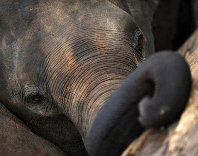 A juvenile elephant is pictured at the Pinnawela Elephant Orphanage in Pinnawela.