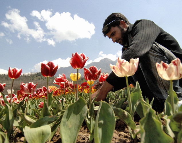 A Kashmiri gardener works among tulips blooming in the fields outside the summer capital of Jammu and Kashmir, in Asia's largest tulip garden.