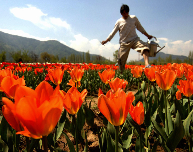 A Kashmiri gardener works among the 360,000 tulips blooming in the fields outside the summer capital of Jammu and Kashmir, in Asia's largest tulip garden,.