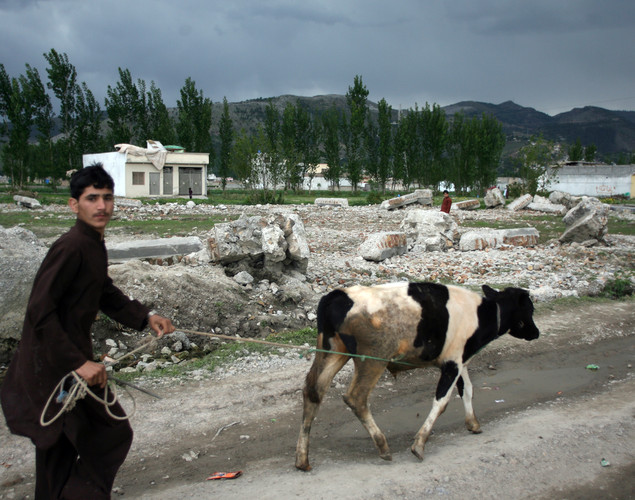 A local resident walks along with his cow beside the rubble of the demolished compound of slain Al-Qaeda leader Osama bin Laden in northern Abbottabad.