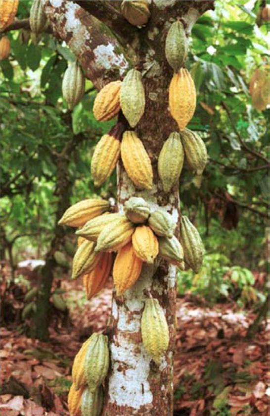 Nigerian Cocoa Plant